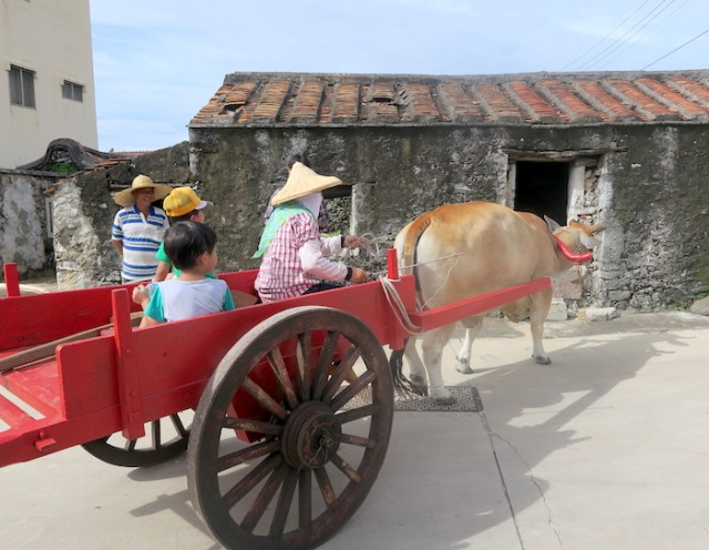 A cow towing it's owner in Nanliao