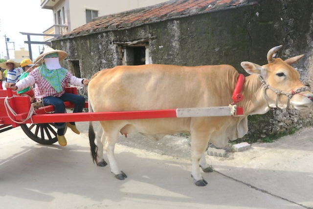 A cow towing its owner in Nanliao