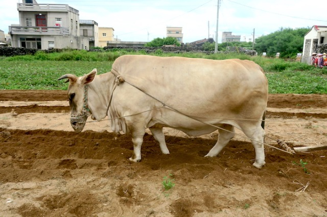 An ox ploughing a field in Penghu