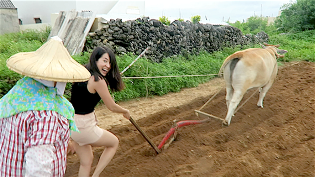 Monica Mizzi tries to plough a field in Nanliao, Penghu with an ox
