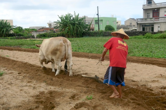 Man ploughing field with his ox in Penghu