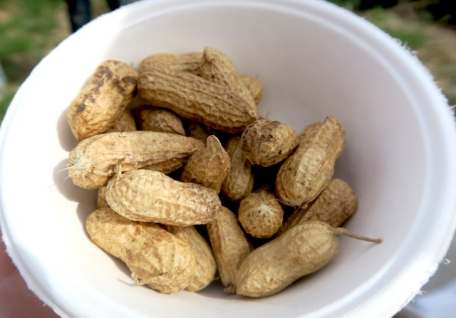 Bowl of peanuts harvested in Nanliao