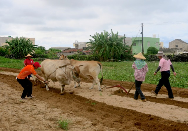 Farmers ploughing ox in Penghu